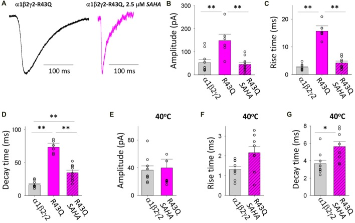 Effects of SAHA and temperature on IPSCs mediated by α1β2γ2 R43Q GABA A Rs. (A) Examples of digitally averaged and normalised IPSCs from HEK293 cells transfected with α1, β2 and <t>γ2</t> R43Q subunits with and without SAHA pre-application. (B–D) Effect of SAHA pre-application on the amplitudes, 10%–90% rise times and decay time constants of IPSCs mediated by α1β2γ2 R43Q GABA A Rs. The control data for α1β2γ2 and α1β2γ2 R43Q GABA A Rs have been replotted from Figure 1 . All data in panels (A–D) were recorded at room temperature (22°C). (E–G) Mean amplitudes, 10%–90% rise times and decay time constants of IPSCs mediated by α1β2γ2 and α1β2γ2 R43Q GABA A Rs at 40°C. * p