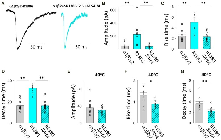 Effects of SAHA and temperature on IPSCs mediated by α1β2γ2 R138G GABA A Rs. (A) Examples of digitally averaged and normalised IPSCs from HEK293 cells transfected with α1, β2 and γ2 R138G subunits s with and without SAHA pre-application. (B–D) Effect of SAHA pre-application on the amplitudes, 10%–90% rise times and decay time constants of IPSCs mediated by α1β2γ2 R138G GABA A Rs. The control data for α1β2γ2 and α1β2γ2 R138G GABA A Rs have been replotted from Figure 1 . All results in panels (A–D) were recorded at room temperature (22°C). (E–G) Mean amplitudes, 10% –90% rise times and decay time constants of IPSCs mediated by α1β2γ2 and α1β2γ2 R138G GABA A Rs at 40°C. * p