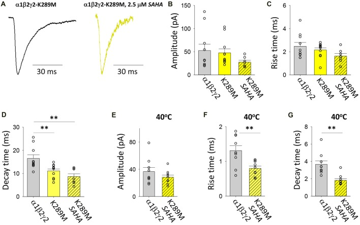 Effects of SAHA and temperature on IPSCs mediated by α1β2γ2 K289M GABA A Rs. (A) Examples of digitally averaged and normalised IPSCs from HEK293 cells transfected with α1, β2 and γ2 K289M subunits with and without SAHA pre-application. (B–D) Effect of SAHA pre-application on the amplitudes, 10%–90% rise times and decay time constants of IPSCs mediated by α1β2γ2 K289M GABA A Rs. The control data for α1β2γ2 and α1β2γ2 K289M GABA A Rs have been replotted from Figure 1 . All results in panels (A–D) were recorded at room temperature (22°C). (E–G) Mean amplitudes, 10%–90% rise times and decay time constants of IPSCs mediated by α1β2γ2 and α1β2γ2 K289M GABA A Rs at 40°C. ** p