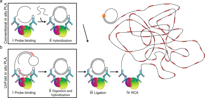 Schematic illustration of in situ PLA using conventional and UnFold probes. ( a ) Conventional in situ PLA. ( b ) In situ PLA using UnFold probes. (i) After pairs of primary antibodies have bound a pair of interacting proteins (red and green) followed by washes, secondary conventional or UnFold in situ PLA probes are added, followed after an incubation by renewed washes. (ii) In the conventional design under ( a ) two more oligonucleotides are then added that can form a DNA circle. Using the UnFold design in ( b ) the probe carrying a hairpin-loop oligonucleotide is cleaved at the U residues, liberating a free 5′ end capable of being ligated to the 3′ end of the same DNA strand. Meanwhile, the U residues in the hairpin DNA strand of the other UnFold probe are cleaved presenting a single-stranded template for the enzymatic joining of the ends of the strand on the first UnFold probe. (iii) A DNA ligase is added to form DNA circles in the two variants of in situ PLA. (iv) Finally, phi29 DNA polymerase is added to initiate RCA primed by oligonucleotides on one of the antibodies, and fluorescent oligonucleotides are used to visualize the RCA products.