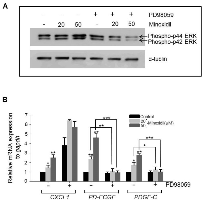 Minoxidil upregulates expression of PD-ECGF and PDGF-C through the ERK pathway in ASCs. ( A ) The MEK inhibitor PD98059 reversed minoxidil-induced ERK phosphorylation; ( B ) PD98059 also suppressed minoxidil-induced upregulation of PD-ECGF and PDGF-C expression by ASCs. Three independent experiments were carried out per data point. * p