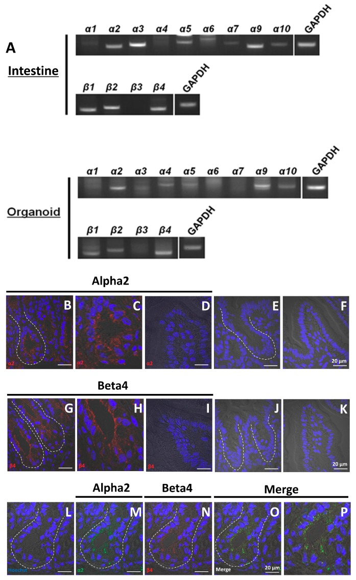 Localization of nAChR subunits in the mouse small intestine and organoids. ( A ) RT-PCR analysis of the expression of nAChR subunits in intestine and cultured organoids (passage 5); ( B , D ) visualization of α2 (red) in crypts and villus; ( E , F ) control sections labeled with secondary antibody [Alexa Fluor 546 donkey anti-(rabbit IgG)] in the absence of primary antibody; ( G , I ) visualization of β4 (red) in crypts and villus; ( J , K ) control sections labeled with secondary antibody [Alexa Fluor 568 rabbit anti-(goat IgG)] in the absence of primary antibody; ( L – O ) co-localization of α2 and β4 in crypts; ( M ) visualization of α2 (green) in crypts; ( N ) visualization of β4 (red) in crypts; ( O ) merged visualization of ( L ), ( M ), and ( N ). ( C , H , P ) Enlargement of ( B ), ( G ), and ( O ). White dotted lines indicate the crypt region. In all panels, nuclei were stained with Hoechst 33342 (blue). Bars in ( B – P ) except for ( C ), ( H ), and ( P ) represent 20 μm.