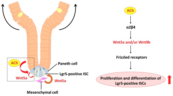 Model depicting the proposed role of nAChR signaling in intestinal stem cell function. Non-neuronal ACh activates the nicotinic receptor α2/β4 localized in the Paneth cells to modulate the expression levels of Wnt5a and/or Wnt9b . The Wnts then mediate Wnt pathway activity through various frizzled receptors. Eventually, proliferation and differentiation of stem cells are enhanced.