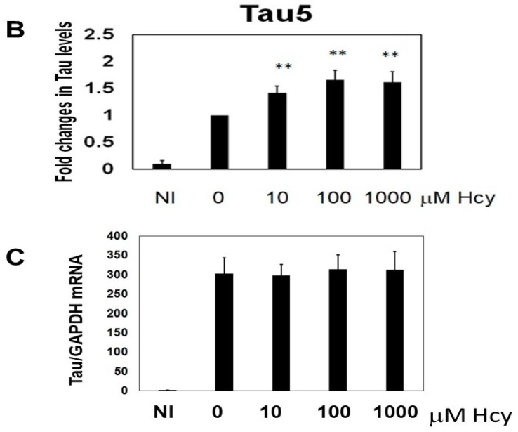 Total tau protein was increased by L-homocysteine (L-Hcy) in M1C cells. M1C cells were subjected to 5 days of tau expression (by reducing tetracycline) and cells were exposed to 10, 100, 1000 µM L-Hcy during the final 24 h of tau induction. The amount of Tau5 positive tau was increased in a dose-dependent manner when cells were treated with L-Hcy. Glyceraldehyde 3-phosphate dehydrogenase (GAPDH) was used as a loading control. Bar: ± SD, ** p