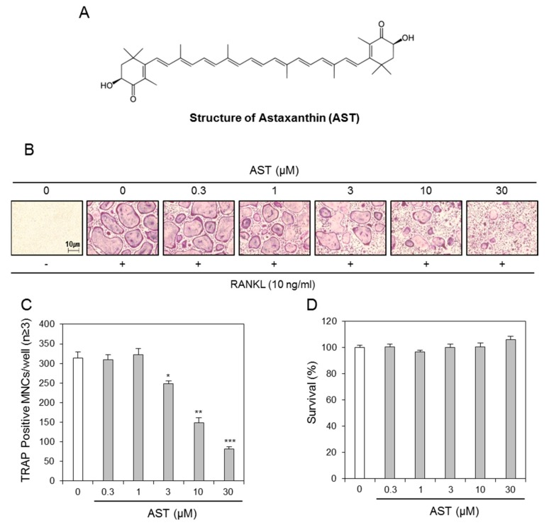 Astaxanthin suppresses osteoclastogenesis. ( A ) Chemical structure of Astaxanthin; ( B ) BMMs prepared from bone marrow cells were cultured for 4 days with RANKL (10 ng/mL) and M-CSF (30 ng/mL) in the presence of the indicated concentrations of Astaxanthin or 0.1% DMSO (control vehicle). The cells were fixed in 3.7% formalin, permeabilized in 0.1% Triton X-100, and stained for TRAP, a marker enzyme of osteoclasts; ( C ) TRAP-positive multinuclear cells (nuclei ≥ 3) were counted as osteoclasts. * p