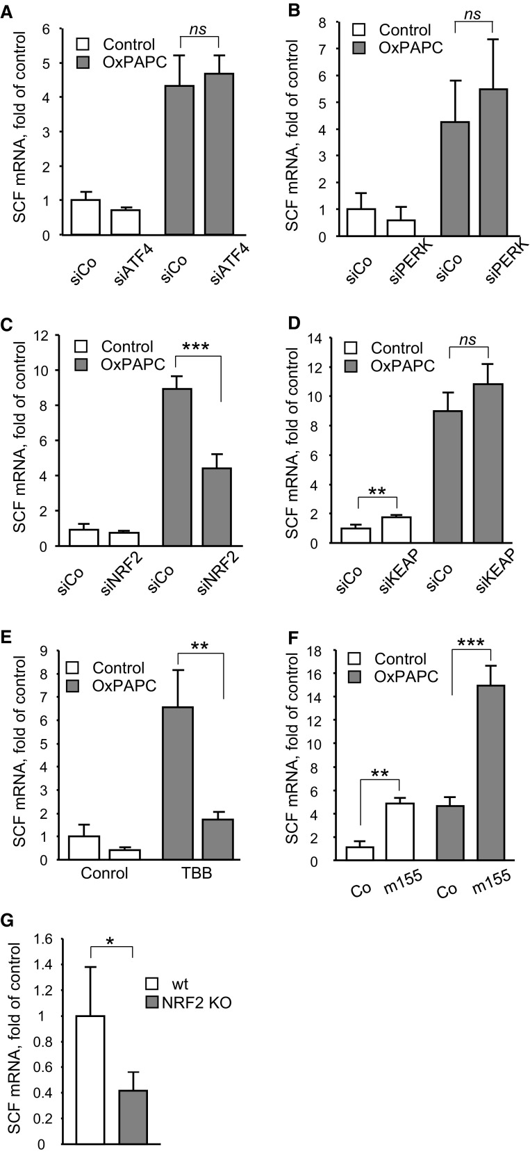 Induction of SCF by OxPAPC depends on the transcription factor NRF2. a , b , c and d HUVECs were transfected with siRNAs targeting ATF4 ( a ), PERK ( b ), NRF2 ( c ), or KEAP ( d ). Twenty-four hours after transfection cells were stimulated with OxPAPC (100 µg/ml, 6 h). Levels of SCF mRNA were analyzed by qRT-PCR in total RNA prepared using Trizol reagent and normalized to β2-microglobulin mRNA. e Protein kinase CK2 inhibitor TBB attenuates induction of SCF by OxPAPC. Cells were pretreated with TBB (20 µM, 30 min) and thereafter stimulated with OxPAPC (100 µg/ml, 6 h); SCF mRNA was quantified as described above. f miR-155 potentiates induction of SCF by OxPAPC. HUVECs were transfected with the RNA oligonucleotide mimicking miR-155 for 24 h and stimulated by OxPAPC (100 µg/ml, 6 h). Levels of SCF mRNA were quantified by qRT-PCR. g Steady-state levels of SCF mRNA are decreased in aortas of NRF2 − / − mice. Total RNA was prepared from aortas of 6 months old NRF2 − / − or wild-type mice and analyzed by qRT-PCR method. The levels of NRF2 mRNA were normalized to β2-microglobulin mRNA
