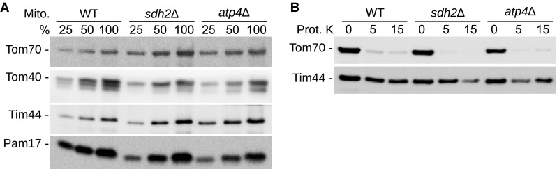 Integrity of the mitochondrial inner membrane. a Mitochondrial protein steady state levels were analyzed by SDS-PAGE and western blotting with antibodies directed against the indicated proteins. b Isolated mitochondria suspended in potassium chloride based isolation buffer were treated with Proteinase K (Prot. K) and analyzed as described in panel ( a )
