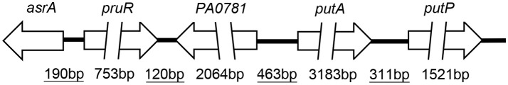 Schematic diagram of putA gene in P. aeruginosa . Genes are represented by open arrows. The gene designations are above the arrows. The length of each gene is indicated below the arrow. The length of each intergenic region is indicated below the bar and underlined. Data were from P. aeruginosa reference strain PAO1 (Winsor et al., 2016 ). The length of each gene and intergenic region is conserved between the PAO1 strain and P. aeruginosa PAK strain. The homology of the fragment (from the intergenic region of asrA and pruR gene to the putP gene, 8,605 bp) between the PAO1 strain and the PAK strain is 99.78%.