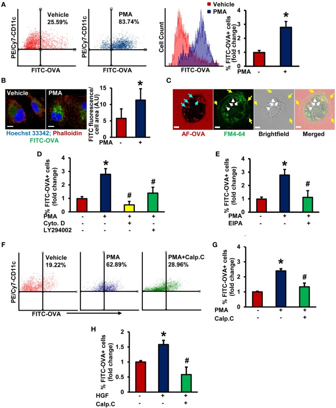 Protein kinase C activation promotes macropinocytosis of antigens in stimulated immature DCs (iDCs). (A) Wild-type (WT) bone marrow-derived immature dendritic cells (BMiDCs) were incubated with FITC-OVA (50 µg/mL; 45,000 MW) and treated with or without phorbol 12-myristate 13-acetate (PMA, 1 µM) for 5 h. Cells were stained with PE/Cy7-conjugated CD11c (or respective isotype control) monoclonal antibodies, fixed in 2% paraformaldehyde, and FITC fluorescence analyzed in PE/Cy7-gated CD11c + cells using a Becton Dickinson FACSCalibur flow cytometer. Gating strategy for flow cytometry analysis is shown in Figure S1 in Supplementary Material. Bar diagram shows the mean fold change in percentage of FITC fluorescence + cells among CD11c + population ( n = 7). (B) WT CD11c + BMiDC were incubated with FITC-OVA (50 µg/mL, green) and stimulated with vehicle or PMA (1 µM) for 5 h. Cells were fixed in 2% PFA, and stained with TRITC-phalloidin (red) and Hoechst 33342 (blue). Images were taken using a Zeiss 780 inverted confocal microscope (63×). Similar findings have been observed in three independent experiments. Scale bar: 5 µm. Bar diagram represents quantified mean FITC fluorescence normalized to cell area in vehicle- and PMA-treated cells. (C) WT CD11c + BMiDCs were treated with PMA (1 µM) for 30 min and incubated with the plasma membrane dye FM™ 4-64 (green) and Alexa Fluor 488-OVA (AF-OVA, 50 µg/mL, red) for 10 min. Live cell imaging was performed using a Zeiss 780 inverted confocal microscope. Yellow arrows indicate membrane ruffles, white arrows indicate membrane-derived macropinosomes, and blue arrows point to internalized extracellular solutes in macropinosomes. Images are representative of three independent experiments. Scale bar: 5 µm. (D) WT BMiDC were preincubated with vehicle, cytochalasin D (Cyto. D, 1 µM, 30 min) or LY294002 (10 µM, 30 min), treated with PMA (1 µM), and incubated with FITC-OVA for 5 h. FITC-OVA uptake was analyzed by fluorescence-activated cell sorting (FACS) ( n = 3). (E) WT BMiDC were preincubated with vehicle or EIPA (25 µM) for 30 min, and challenged with PMA (1 µM, 5 h) in the presence of FITC-OVA. FITC-OVA internalization was analyzed by FACS ( n = 5). (F,G) WT BMiDC were preincubated with vehicle or calphostin C (Calp. C, 100 nM, 30 min), treated with PMA, and FACS was performed as described above ( n = 3). (H) WT BMiDC were preincubated with vehicle or calphostin C (Calp. C, 100 nM, 30 min), treated with HGF (100 ng/mL) in the presence of FITC-OVA for 5 h and FACS was performed to analyze FITC-OVA internalization. Bar diagram represents the mean fold change in FITC fluorescence + cells ( n = 3). Data represent the mean ± SD. * p