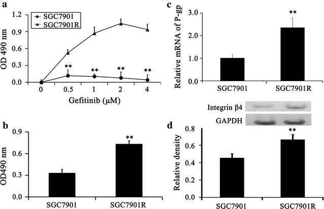 Integrin β4 associates with sensitivity of gefitinib of gastric cancer cell lines. a The sensitivity of the gastric cancer cell lines to gefitinib was assayed by MTT (n = 6). SGC7901R cells exhibited obvious resistance to gefitinib. b The proliferation of SGC7901R and SGC7901 was assayed by MTT (n = 6). The proliferation of SGC7901R was significantly up-regulated. c The resistant gene P-gp was assayed by real-time PCR. The expression of P-gp was increased significantly in SGC7901R cells. d The expression of integrin β4 was assayed by western blot (n = 4). The expression of integrin β4 was up-regulated in SGC7901R cells