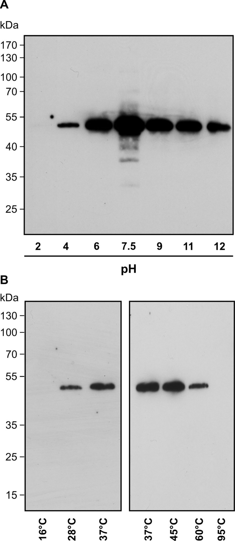 TGA2 modification by PGA 1 -biotin in vitro . Recombinant His-tagged TGA2 was incubated with 75 μM PGA 1 -biotin for 2 h. Proteins were separated on SDS-PAGE and transferred to a PVDF membrane. Biotinylated proteins were visualized by NeutrAvidin-HRP. (A) Stability of modification under different pH conditions tested at ambient temperature. (B) Incubation of TGA2 with PGA 1 -biotin in sodium phosphate, pH 7.5 at different temperatures. His-TGA2 has a predicted molecular weight of 42.3 kDa. The addition of six histidine residues may alter the migration slightly, resulting in a larger than expected protein band of ~50 kDa (Figs 2 and 3 ). Modification by PGA 1 -biotin would only add 0.6 kDa if a single site was modified. Immunoblot analysis with an αTGA2 antibody [ 22 ] confirmed the identity of His-TGA2 at 50 kDa (data not shown).