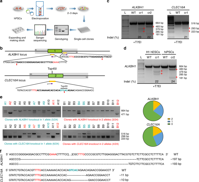 Efficient generation of knockout hPSC lines using CRISPR-Cpf1. a A scheme of the experimental procedure for generating knockout hPSC lines. b Schematic of Cpf1 crRNA targeting sites at ALKBH1 and CLEC16A loci showing exon structures (green boxes), PCR amplicons (light gray boxes), and restriction sites used for PCR analysis. crRNA targeting sequences are in bold; PAM sequences are in red. c T7EI assay for crRNAs of ALKBH1 and CLEC16A in MEL1 hESCs. The Indel frequency was calculated using the expected fragments. d T7EI assay for crRNAs of ALKBH1 in H1 hESCs and hiPSCs. The Indel frequency was calculated using the expected fragments. e PCR analysis upon crRNA transfection. For ALKBH1 , two crRNAs were transfected together. Clones with gene knockout in one allele are in blue, and clones with gene knockout in two alleles are in red. More detailed description and explanation of the band pattern can be found in Supplementary Fig. 2 . f Sequencing results of the targeted allele in ALKBH1 and CLEC16A knockout hPSC lines. PAM sequences are in red. Restrictive enzyme site is in blue