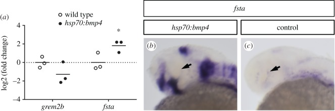 Timed induction of bmp4 affects expression of BMP antagonists. ( a ) Expression analysis of gremlin and follistatin by quantitative PCR, differential expression in heads of tg(hsp70:bmp4, cmlc2:GFP) embryos at 30 hpf after heat shock at 24 hpf as represented by the log2(fold change) of individual samples. Material from three individuals was pooled for one sample; n = 3, horizontal bars represent the arithmetic mean. p -Values for grem2b and fsta , 0.170 and 0.049, respectively. ( b , c ) WMISH for fsta (30 hpf) in tg(hsp70:bmp4, cmlc2:GFP) after heat shock at 24 hpf ( b ) and control embryos ( c ). Strong upregulation after the heat shock is seen in the optic fissure and other expression domains, but not the ciliary marginal zone (arrow). WMISHs in ( b ) and ( c ) were stained in parallel for the same amount of time.