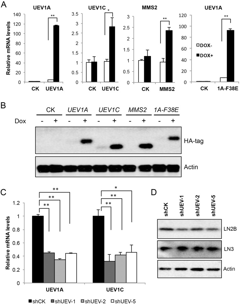 Manipulation of UEV expression levels in HCT116 cells cDNA4.0/TO/HA(+) vector expressing UEV1A , UEV1C , MMS2, mutated UEV1A ( 1A-F38E ) or vector only (CK) was stably transfected into HCT116-TR cells, with or without Dox treatment. The level of ectopic gene expression was monitored (A) by qRT-PCR and (B) by western blot against an anti-HA antibody. (C) UEV1A and UEV1C transcript levels in shCK and shUEV1 lines were determined by qRT-PCR. HCT116 cells were transfected with shRNA lentiviral particles against UEV1 (sh UEV1 ) or non-specific target (shCK). 20 single colonies were picked and subcultured. shUEV1-1, shUEV1-2 and shUEV1-5 represent three independent stable shUEV1 lines. (D) Uev1C and Mms2 levels in shCK and shUEV1 lines were determined by western blot against anti-Uev1 (LN2B) and MMS2+Uev1 (LN3) antibodies. * P
