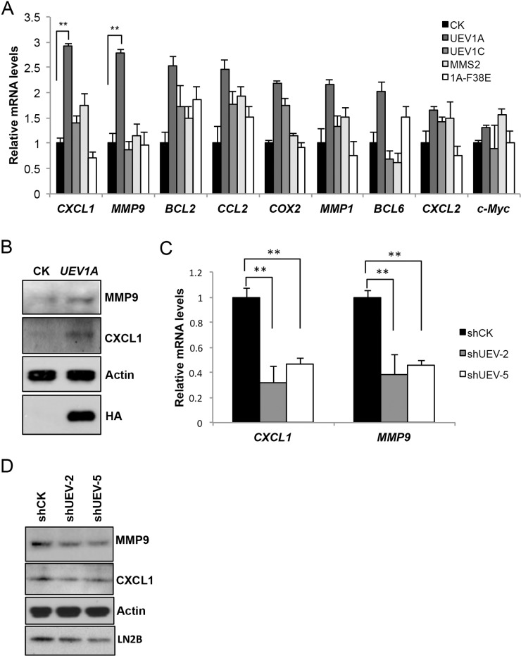 Uev1A positively regulates CXCL1 and MMP9 expression (A) Transcript levels of selected putative NF-κB target genes in HCT116-TR cells expressing different UEV s as determined by qRT-PCR. (B) Elevated CXCL1 and MMP9 protein levels in UEV1A -overexpressed HCT116 cells as determined by western blot. Actin serves as a loading control and HA-tag shows ectopic UEV1A overexpression. (C) Relative transcript levels of CXCL1 and MMP9 in two independent shUEV1-transfected HCT116 cell lines as determined by qRT-PCR. (D) Relative protein levels of CXCL1 and MMP9 in two independent shUEV1-transfected HCT116 cell lines as determined by western blot. ** P