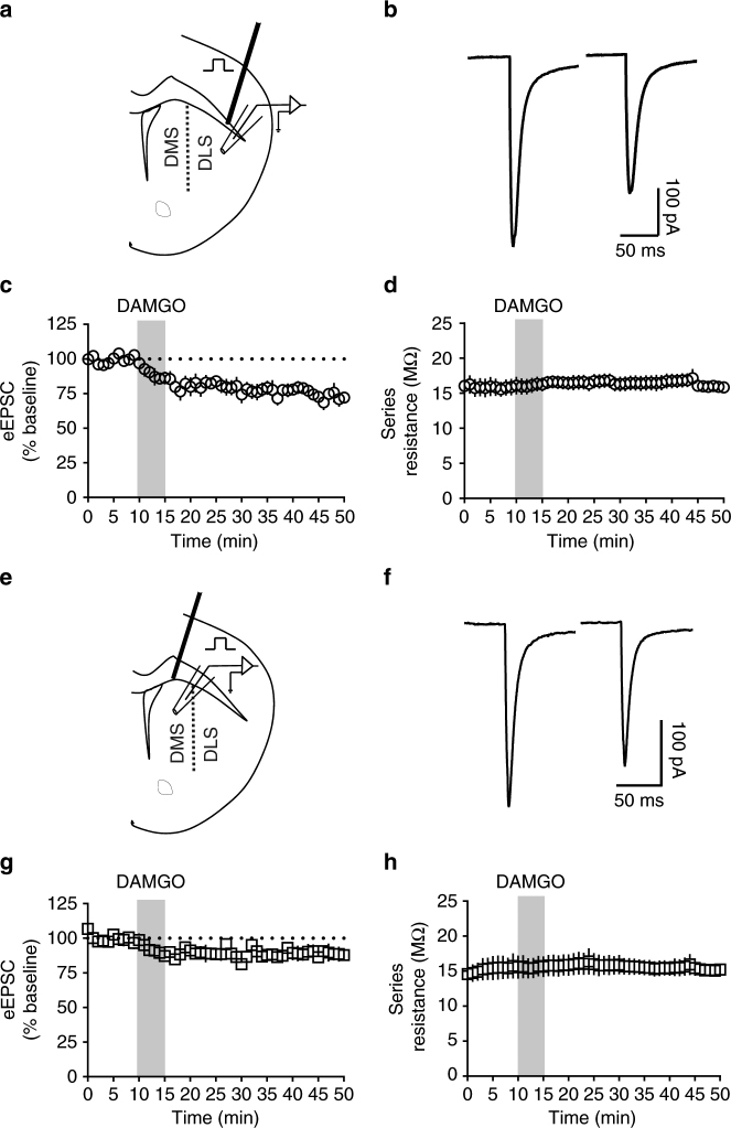 MOR activation produces LTD of excitatory transmission in the dorsal striatum. a Schematic figure of coronal brain slice showing the recording of EPSCs evoked by focal electric stimulation in the dorsolateral striatum (DLS) of C57BL/6J mice. b Representative electrically evoked synaptic traces at baseline and after DAMGO (0.3 μM, 5 min) application. c DAMGO induced mOP-LTD of eEPSC amplitude in DLS MSNs of C57BL/6J mice ( n = 7 slices from 4 mice). d The presence of mOP-LTD is not related to alterations in series resistance. e Schematic figure of coronal brain slice showing the recording of eEPSCs by focal electric stimulation in the dorsomedial striatum (DMS). f Representative electrically evoked synaptic traces before and after DAMGO (0.3 μM, 5 min) application. g The activation of MOR by DAMGO induced LTD of eEPSC amplitude in DMS MSNs of C57BL/6J ( n = 6 from 2 mice). h The series resistance was stable during DMS recordings. Data represent mean ± SEM