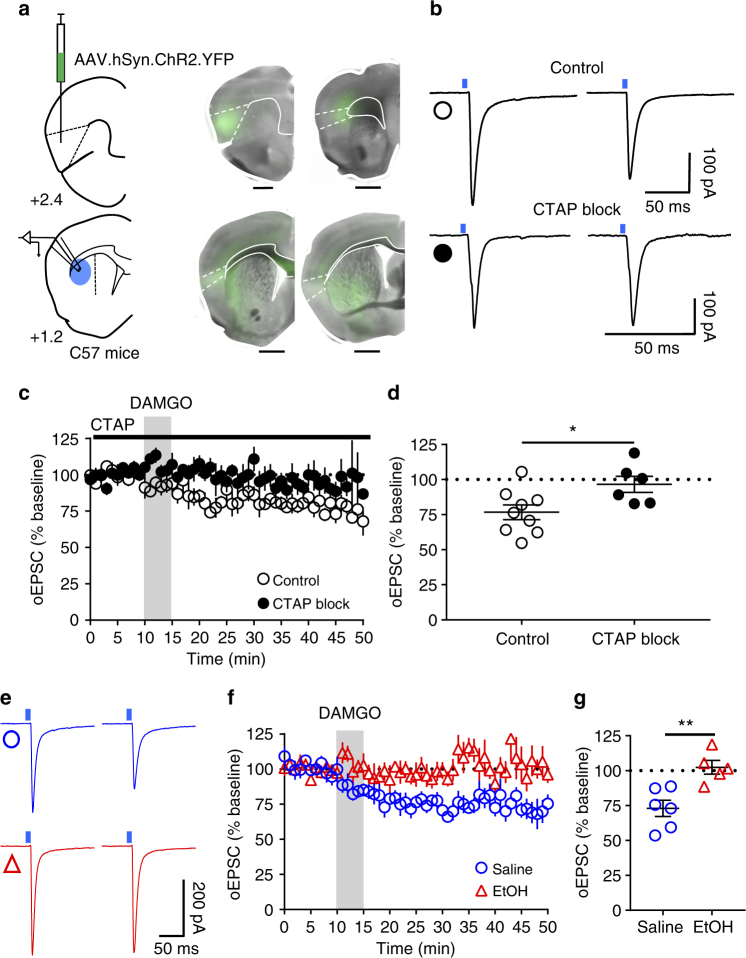 mOP-LTD occurs at anterior insular cortex inputs to DLS and is ethanol sensitive. a Schematic figure of the injection paradigm enabling optogenetic recording from C57BL/6J DLS MSNs. An AAV vector coding for ChR2 (AAV.hSyn.ChR2) was injected 14 days prior to recordings. Coronal brain slices showing the infection of anterior insular cortex sending projections to the DLS and nucleus accumbens. Bar scales: +2.4, 200 μm; +1.7, 1000 μm; +1.2, 1000 μm; +0.1, 1000 μm. b Representative light-evoked synaptic traces from the DLS before and after DAMGO (0.3 μM, 5 min) and blocked with MOR antagonist CTAP (1 μM). c , d DAMGO application induced mOP-LTD at anterior insular terminals in the DLS and this MOR-mediated LTD was blocked by the application of CTAP ( P = 0.027, t 13 = 2.49, Control: n = 9 from 3 mice; CTAP: n = 6 from 2 mice). e Representative oEPSC traces from the DLS before and after DAMGO (0.3 μM, 5 min) application in saline (blue traces) and EtOH (red traces)-injected C57BL/6J mice. f , g EtOH exposure produced a disruption of mOP-LTD from anterior insular inputs induced by DAMGO (0.3 μM, 5 min) in the DLS ( P = 0.0046, t 9 = 3.75; Saline: n = 6 from 2 mice; EtOH: n = 5 from 3 mice). Unpaired Student's t test. * P