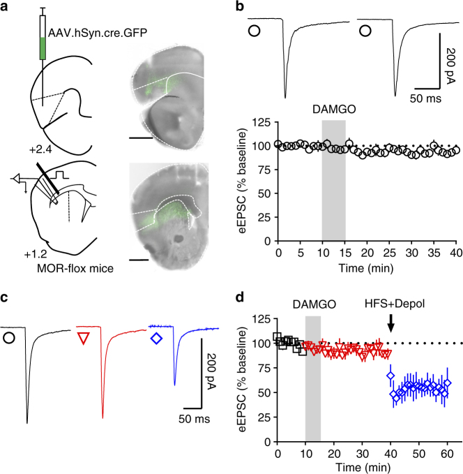 Anterior insular MORs are necessary to induce mOP-LTD in the DLS. a Schematic figure of coronal brain slice showing the recording of EPSCs evoked by focal electric stimulation in the DLS of MOR-flox mice. An AAV vector encoding for cre-recombinase (AAV.hSyn.cre) was injected 8 weeks prior to recordings. Coronal brain slice showing the infection of anterior insular cortex and dorsal striatal terminal expression (bar scale = 1000 μm). b Representative electrically evoked synaptic traces and a recording time course from the DLS before and after DAMGO (0.3 μM, 5 min) showing the loss of mOP-LTD mediated by anterior insular MORs ( P = 0.136, t 5 = 1.775, n = 6 from 4 mice). c , d Representative electrically evoked synaptic traces and a recording time course from the DLS before and after DAMGO (0.3 μM, 5 min) and high-frequency stimulation (HFS) coupled with depolarization (4 pulses of 100 Hz, 10 s inter-pulse interval). DAMGO application was incapable of producing mOP-LTD in the DLS of anterior insula MOR knockout mice. However, HFS induced a strong reduction of eEPSCs in the DLS, indicating intact eCB-LTD (baseline vs DAMGO: P = 0.262, t 3 = 1.3.78; baseline vs HFS: P = 0.0082, t 3 = 6.259; DAMGO vs HFS: P = 0.0467, t 3 = 3.273; n = 4 from 3 mice). Data analyzed with Student's paired t tests. Data represent mean ± SEM