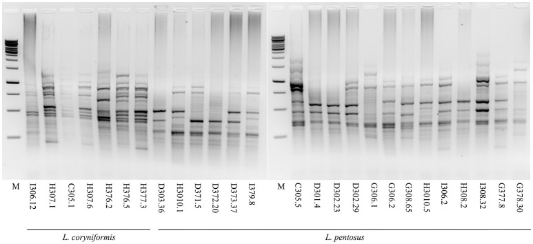 Strain typing of the selected L. pentosus and L. coryniformis isolates by rep-PCR. Agarose gel electrophoresis of GTG 5 rep-PCR fingerprinting profiles of L. coryniformis and L. pentosus strains. M: 1 kb DNA ladder (Microzone, UK).