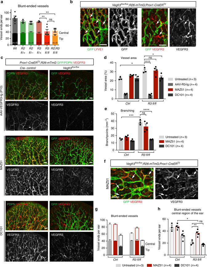 Lymphatic vascular hyperplasia in Vegfr3 -deleted ears is driven by VEGF-C signaling. a Quantification of blunt-ended vessels (lymphatic capillaries) in 5 weeks old mice treated with Tamoxifen at P2, P4, and P6. Central region excludes 560 μm area (tip) from the edge of the ear. Bars represent mean ( n = 3–6 mice, as indicated) ± s.e.m. b Whole-mount immunofluorescence of Vegfr3 flox/flox ; R26-mTmG;Prox1-CreER T2 ear skin showing vessel interconnections (arrows) formed of non-targeted (GFP − ) LYVE1 + (left) and VEGFR3 + (right) LECs. c Whole-mount immunofluorescence of ear skin of 3 weeks old Vegfr3 flox/flox ; R26-mTmG;Prox1-CreER T2 and Cre-negative littermate mice treated with Tamoxifen at P2, P4, and P6, and inhibitors of VEGF-C signaling (the VEGF-C-trap VEGFR3-Ig, the VEGFR3 inhibitor MAZ51, or the VEGFR2 blocking antibody DC101). Quantification of ( d ) vessel area and ( e ) branch points. Bars represent mean ( n = 3 (untreated groups) or n = 4 (treated groups) mice) ± s.e.m. f – h Visualization by whole-mount immunofluorescence (arrows in f ) and quantification of blunt-ended vessels in the ( g ) entire and ( h ) central region of the ear in Vegfr3 flox/flox ; R26-mTmG;Prox1-CreER T2 mice treated with the VEGFR3 kinase inhibitor MAZ51. In g , h , bars represent mean ( n = 3 (untreated) or n = 4 (MAZ51, DC101) mice) ± s.e.m. * P