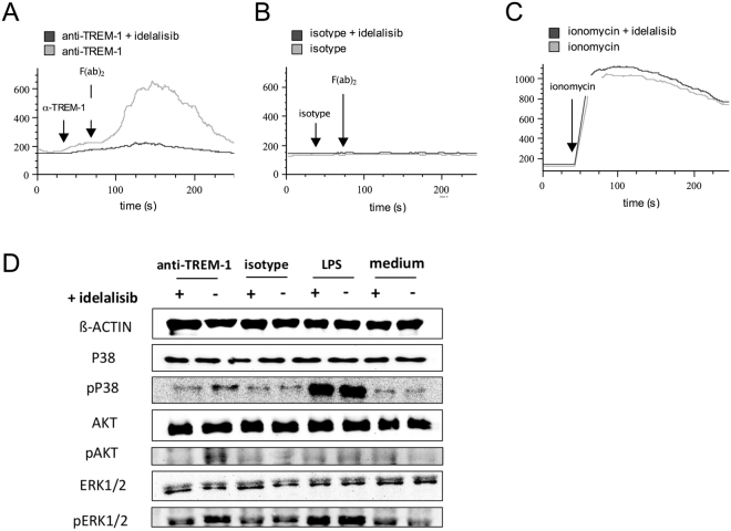 Idelalisib impairs calcium flux and TREM-1 signaling in neutrophils in vitro . PMN from healthy human donors were isolated, preincubated with idelalisib 1 µg/ml and loaded with FLUO-3/AM (both at 37 °C for 30 min) for calcium flux assay. ( A – C ) Fluorescence signals were detected by flow cytometry for 30 s. For PMN activation indicated stimuli (( A ) anti-TREM-1, ( B ) isotype matched control mAb, ( C ) <t>ionomycin)</t> was added. For cell stimulation via TREM-1 receptor (and isotype control) cross-linking was performed with a secondary antibody again after 30 s; fluorescence signals were gained for further 5 min. Ionomycin served as positive control. One out of three experiments is depicted. ( D ) For protein analysis PMN were activated with indicated stimuli (anti-TREM-1 antibody, matched control mAb, LPS) for 30 min after preincubated with idelalisib as described above. Proteins were extracted with an urea-based lysis buffer, SDS PAGE was performed and proteins were blotted by a semi-dry process. Protein activation was analyzed by staining of phosphorylated and non-phosphorylated proteins. ß-actin served as loading control. One out of three experiments is depicted.
