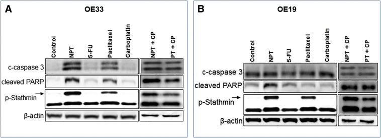 In-vitro comparative effects of nab-paclitaxel on the expression of apoptosis related proteins and phospho-stathmin in esophageal adenocarcinoma cells. Subconfluent monolayer of human esophageal adenocarcinoma cells OE33 (A) and OE19 (B) were treated with 5 μM of nab-paclitaxel (NPT), 5-flurouracil (5-FU), paclitaxel (PT) and carboplatin (CP) alone or in combinations for 16 hours. Equal amounts of total cell extarcts were analyzed by western blots with antibodies to cleaved caspase 3 (c-caspase 3), cleaved poly (ADP-ribose) polymerase-1 (cleaved PARP), phospho ser38 stathmin (p-Stathmin) and β-actin. Data are representative of two independent experiments with similar results.