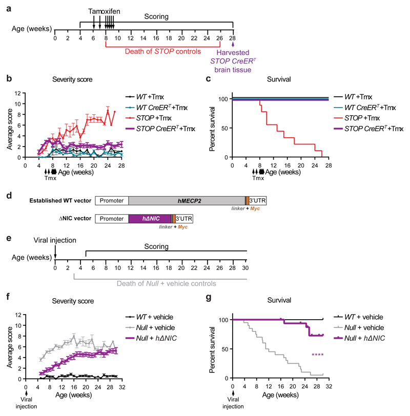 Activation or viral transduction of ΔNIC ameliorates neurological phenotypes in MeCP2-deficient mice a, Timeline of Cre-mediated activation of ΔNIC induced by Tamoxifen injections. b, Phenotypic severity scores (mean ± SEM) of mice injected with Tamoxifen (arrows) from 4-28 weeks: WT ( n =4), WT CreER T ( n =4), STOP ( n =9) and STOP CreER ( n =9). c, Kaplan-Meier plot showing survival of the cohort shown in panel b . d, Diagram of the DNA sequence inserted into an scAAV viral vector, comprising a 426 nt Mecp2 promoter driving the human ΔNIC coding sequence plus a C-terminal Myc tag and 3' UTR. A vector containing full-length human MECP2 25 is shown for comparison. e, Timeline of the scAAV-mediated gene therapy experiment. f, Phenotypic severity scores (mean ± SEM) of scAAV-injected mice from 5-30 weeks: WT + vehicle ( n =15), Mecp2- null + vehicle ( n =20) and Mecp2- null + hΔNIC ( n =17). g, Kaplan-Meier plot showing survival of the cohort shown in panel f . Four Mecp2 -null + hΔNIC animals reached their humane end-point. Five Mecp2 -null + ΔNIC animals were culled due to injuries unrelated to RTT-like phenotypes at 16, 23, 25, 26 and 29 weeks of age (data shown as ticks). Survival of Mecp2 -null + ΔNIC animals was compared to Mecp2 -null + vehicle controls using the Mantel-Cox test: P =