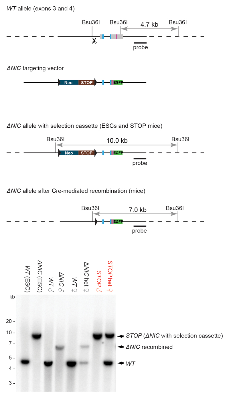 Generation of ΔNIC and STOP mice Diagrammatic representation of ΔNIC and STOP mouse line generation. The endogenous Mecp2 allele was targeted in male ES cells. The site of Cas9 cleavage in the WT sequence is shown by the scissors symbol. The selection cassette was removed in vivo by crossing chimaeras with deleter ( CMV-Cre ) transgenic mice to produce constitutively expressing ΔNIC mice, or retained to produce STOP mice. Southern blot analysis shows correct targeting of ES cells and successful cassette deletion in the ΔNIC knock-in mice. The solid black line represents the sequence encoded in the targeted vector and the dotted lines indicate the flanking regions of mouse genomic DNA. For gel source data, see Supplementary Information .