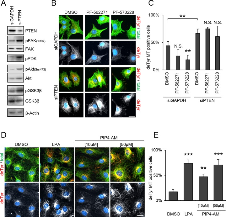 PI(3,4,5)P3 analog stimulates detyrosination of microtubules. [A] NIH/3T3 cells were siRNA depleted for GAPDH (control) or PTEN and serum depleted overnight. Cell lysates were analyzed by western blotting against PTEN, phospho-FAK (Y397), total FAK, phospho-PDK1, phospho-Akt (Ser473), total Akt, phospho-GSK3β, total GSK3β and β-Actin. Representative images of 3 independent experiments are shown. [B, C] NIH/3T3 cells were siRNA depleted against GAPDH or PTEN, treated with FAK inhibitors (PF-562271[1 μM], PF-573228 [10 μM]) as indicated and seeded on fibronectin-coated coverslips for 2 h. [B] Representative images of cells immunostained against, detyrosinated tubulin (red), total tubulin (green) and DNA (blue). [C] Percentage of detyrosinated microtubules positive cells. Error bar = StdDev, N = 4 (total of > 150 cells each). [D, E] NIH/3T3 cells were serum depleted for 2 days and treated with LPA [10 μM] (positive control) or PIP4-AM as indicated. [D] Representative image of cells immunostained against detyrosinated tubulin (deTyr, red), total tubulin (green) and DNA (blue). [E] Percentage of deTyr positive cells. Error bar = StdDev, N = 3 (total of > 150 cells each). Scale bars, 10 μm, ** p