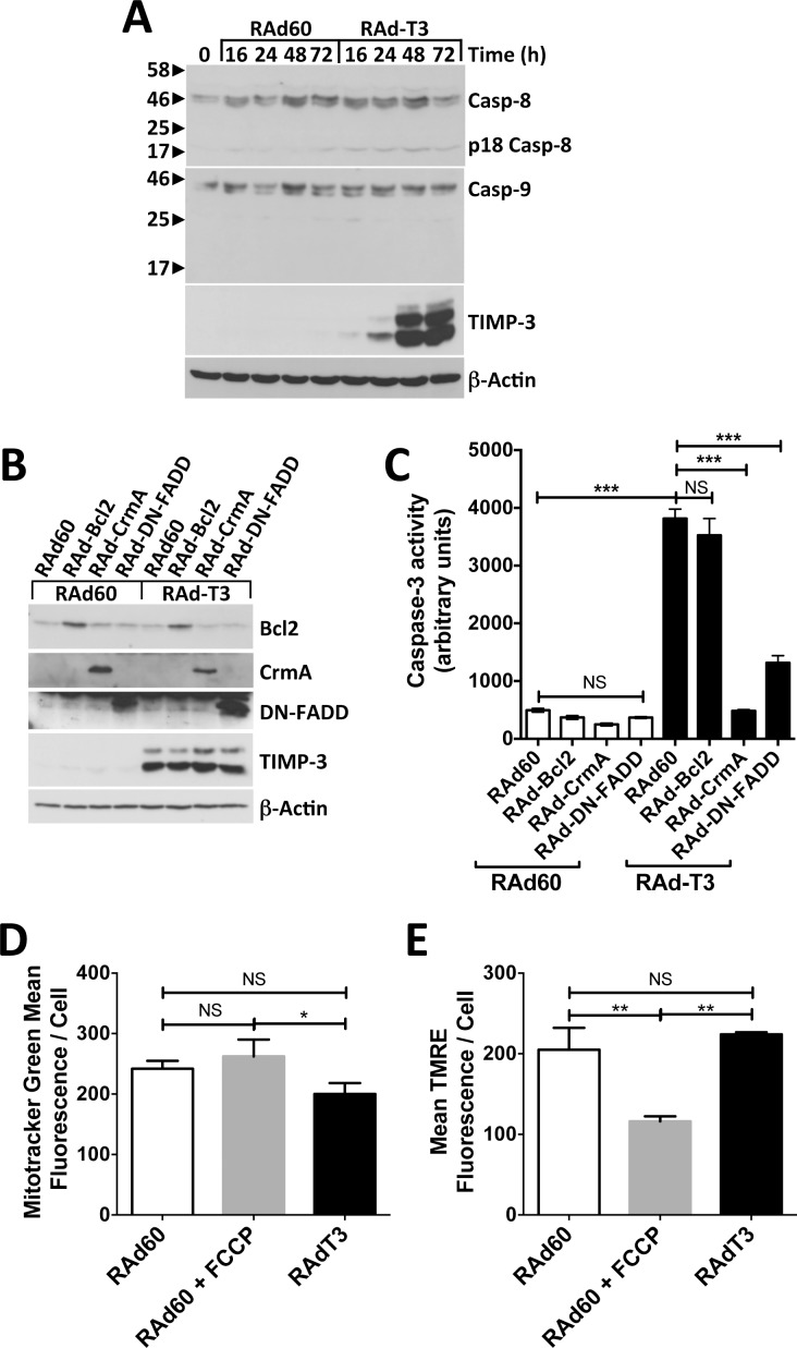 TIMP-3 overexpression induces apoptosis via a type-I death receptor pathway in hVSMCs. A. Western blot of lysates of VSMCs infected with either control (RAd60) or TIMP-3 (RAdT3)-expressing adenovirus harvested at the indicated times. Western blots were probed with anti-caspase-8, which can detect the pro, processed and 18 kDa active forms (Casp-8 and p18 Casp-8 respectively), anti-caspase-9 (Casp-9), anti-TIMP-3 and anti-beta-actin as a loading control. B and C. hVSMCs were infected with control (RAd60) or TIMP-3 (RAdT3)-expressing adenovirus followed by control (RAd60), Bcl2 (RAd-Bcl2), CrmA (RAd-CrmA) or dominant negative FADD (RAd-DN-FADD)-expressing adenovirus as described in the experimental procedures. Lysates were harvested after 72 h and analysed by Western blot to confirm expression of Bcl2, CrmA, DN-FADD and TIMP-3 with anti-beta-actin as a loading control (B) or caspase-3 activity measured (C). Data in C are the mean ± SEM, n = 5, *** = P