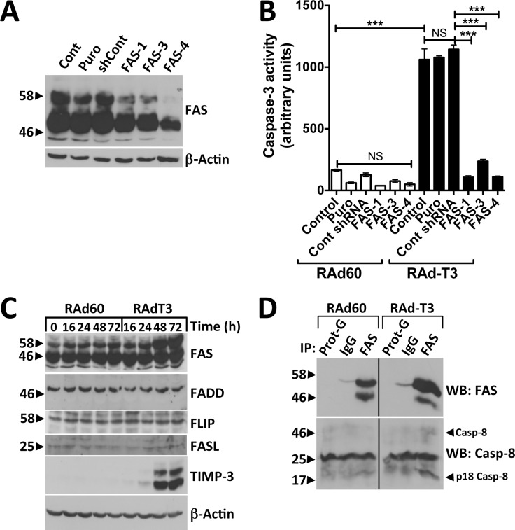 TIMP-3-induced apoptosis in hVSMCs is dependent on FAS, increases cellular FAS protein levels and induces DISC formation. A. Western blots of hVSMCs (Cont), transduced with lentivirus carrying puromycin resistance alone (Puro), expressing non-targeting control shRNA (shCont), or shRNA targeting FAS (FAS-1, -3, -4). B. Cells from (A) were infected with control (RAd60) or TIMP-3-expressing adenovirus (RAdT3) and caspase-3 activity analysed after 72 h. Data are the mean ± standard deviation, n = 3, *** = p