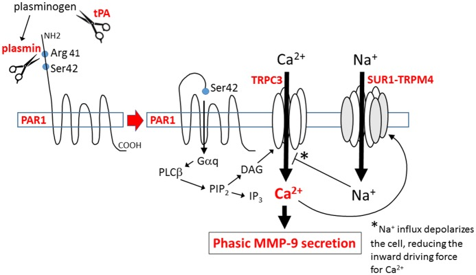 Proposed mechanism for tPA-induced phasic secretion of MMP-9 by NF-κB-activated brain endothelium. tPA catalyzes the cleavage of plasminogen, yielding plasmin. Plasmin activates the G-protein coupled receptor, PAR1, by proteolytic cleavage of its N-terminal domain at Arg 41, allowing its tethered ligand to bind intramolecularly to activate the receptor. Activated PAR1 signals via the G-protein, Gαq, activating phospholipase Cβ (PLCβ), which catalyzes the cleavage of membrane-bound phosphatidylinositol 4,5-biphosphate (PIP 2 ) into the second messengers, inositol (1,4,5) trisphosphate (IP 3 ) and diacylglycerol (DAG). DAG activates TRPC3, resulting in Ca 2+ influx. DAG-induced Ca 2+ influx triggers phasic secretion of MMP-9, and causes activation of SUR1-TRPM4, which results in Na + influx. Cell depolarization due to Na + influx reduces the inward electrochemical driving force for Ca 2+ , consistent with SUR1-TRPM4 functioning as a negative regulator of Ca 2+ influx.