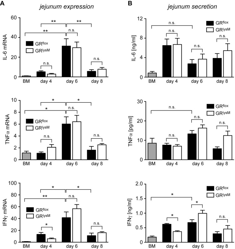 Cytokine expression and secretion in the jejunum in the early phase of aGvHD in the GR lysM model GR flox and GR lysM BALB/c mice were transplanted with BM and purified T cells from C57BL/6 wildtype mice; transfer of BM cells only served as a control. Mice were sacrificed and analyzed on day 4, 6 and 8 after aGvHD induction; analysis of BM controls was performed on day 6. ( A ) Relative mRNA levels of IL-6, TNFα and IFNγ in jejunum biopsies were determined by quantitative RT-PCR using HPRT for normalization. Gene expression in BM control mice was arbitrarily set to 1. N = 4 (BM), N = 5/5 (GR flox /GR lysM ; day 4), N = 12/15 (GR flox /GR lysM ; day 6), N = 5/7 (GR flox /GR lysM ; day 8); data pooled from multiple experiments. ( B ) Jejunum biopsies were cultured for 24 hours in RPMI+ medium and IL-6, TNFα and IFNγ levels in the supernatant were determined by ELISA. N = 4 (BM), N = 5/5 (GR flox /GR lysM ; day 4), N = 14/15 (GR flox /GR lysM ; day 6), N = 6/8 (GR flox /GR lysM ; day 8); data pooled from multiple experiments. All values are depicted as mean ± SEM. Statistical analyses were performed by Mann-Whitney U test ( * p