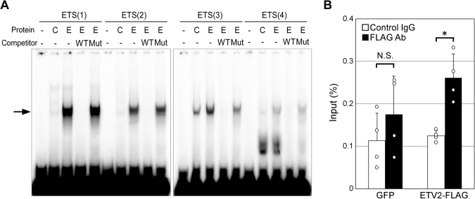 ETV2 binding to ETS motifs in the Robo4 promoter. ( A ) ETV2 binding to ETS motifs in Robo4 promoter. Electrophoretic mobility shift assay using ETV2 (E), control protein (C) and 32 P-labeled probes containing ETS motifs. A 50-fold molar excess of unlabeled wild type (WT) or mutant (Mut) ETS motif was used as competitor. The arrow indicates the shifted bands derived from an ETV2-DNA complex. ( B ) ETV2 binding to endogenous Robo4 promoter. Chromatin immunoprecipitation with anti-FLAG or control IgG of HUVECs expressing ETV2-FLAG or GFP. Immunoprecipitated DNA fragments were analyzed by real-time PCR targeting the Robo4 promoter. Data are means ± S.D. (n = 4). * p