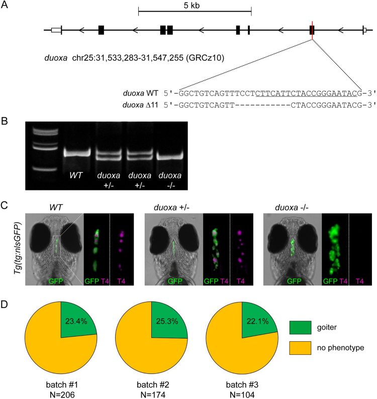duoxa germline mutants develop goitrous thyroid phenotypes. ( A ) Zebrafish duoxa genomic locus on chromosome 25 with sequences for the wild-type (WT) allele and a mutant allele ( duoxa Δ11) containing a 11 bp deletion in exon 2. The sgRNA target site is underlined in the WT sequence. ( B ) PCR analysis of genomic DNA allows for sensitive detection of WT and duoxa Δ11 mutant alleles in individual fish (F3 generation). Polyacrylamide gel electrophoresis of PCR amplicons of WT, heterozygous and homozygous duoxa Δ11 carriers. Full-length gel is shown in Supplementary Fig. 7 from which lanes 1, 2, 3, 4 and 6 are shown in the cropped gel image. ( C ) Thyroid phenotyping of duoxa Δ11 mutant fish maintained on a Tg ( tg:nlsEGFP ) background. Immunofluorescence staining (GFP and T4) of 6 dpf larvae (ventral view, anterior to the top, scale bars: 20 µm) showed goitrous thyroid enlargement and absence of detectable T4 staining in all homozygous duoxa Δ11 fish ( N = 30). Larvae with a normal-looking thyroid morphology ( N = 30) were genotyped as either WT or heterozygous carriers of the duoxa Δ11 allele. For each larvae shown, 3.5-fold magnified views of the thyroid region are displayed (merge of GFP/T4 and T4 only). ( D ) Proportion of larvae with goitrous thyroid phenotype as detected in the progeny of three independent inbreeding experiments with heterozygous duoxa Δ11 fish.