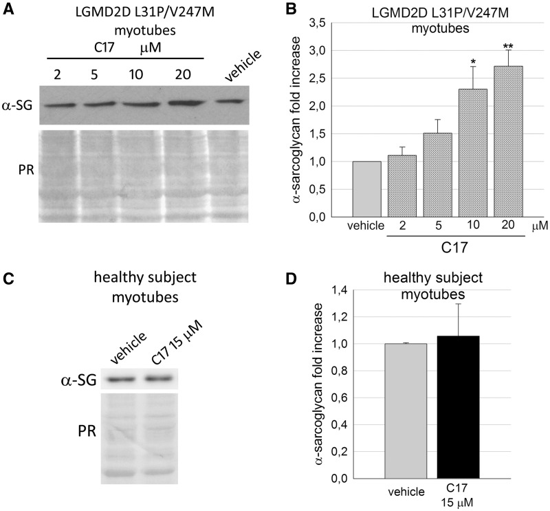 Corrector C17 induced a dose dependent increase of α-SG mutant in LGMD2D myotubes. ( A ) representative western blot of total protein lysates of myogenic cells from a patient carrying the L31P/V247M α-SG mutations grown and differentiated for 7 days and treated for the last 48 h with either 1‰ DMSO (vehicle) or increasing concentrations of corrector C17, as indicated. α-SG protein was revealed with specific primary antibody, the Ponceau red staining (PR) is reported and utilized to normalize the total amount of proteins loaded in each lane. ( B ) quantification by densitometric analysis of α-SG protein bands of three independent western blot experiments, as described in (A). The average amount of α-SG (± SEM) is expressed as fold increase of the protein content present in myotubes treated with vehicle. Statistical analysis was performed by One-way ANOVA test - multiple comparisons Dunnett test; * P ≤ 0.05; ** P ≤ 0.01. ( C ) myogenic cells from a healthy subject were grown and differentiated for 7 days and treated for the last 48 hours with either 1‰ DMSO (vehicle) or 15 µM C17. Total protein lysates were analyzed by Western blot as described in (A). ( D ) quantification by densitometric analysis of wild type α-SG protein bands of three independent Western blot experiments as described in (C). Statistical analysis was performed by unpaired two-tailed Student's t -test.
