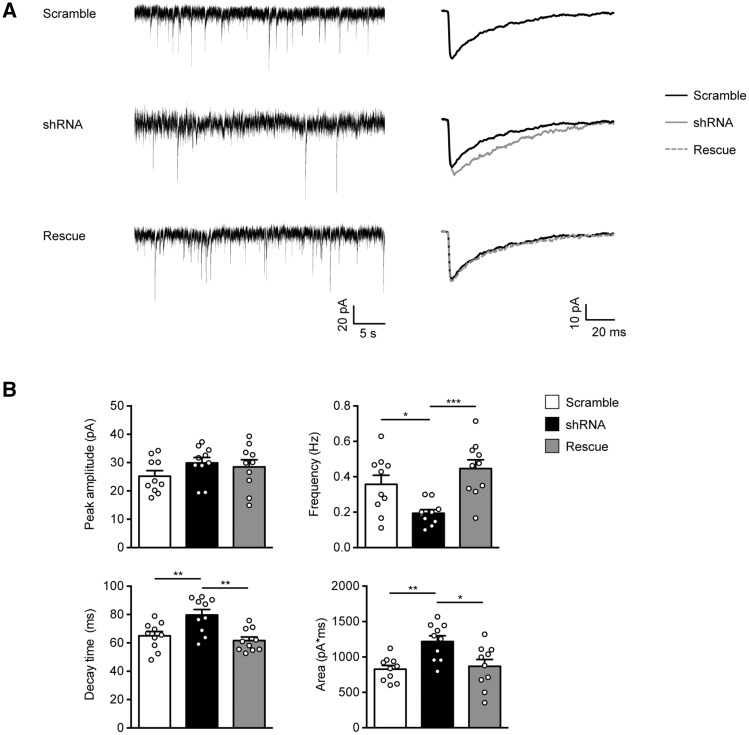 PCDH19 shRNA-mediated downregulation affects the miniature inhibitory post-synaptic currents (mIPSCs) frequency and kinetics. ( A ) Representative mIPSC recording (left) and population averages (right) from primary hippocampal pyramidal neurons expressing either PCDH19 control shRNA (Scramble), shRNA or shRNA plus PCDH19-V5 (Rescue). Neurons were transfected at DIV11 and recorded at DIV15. ( B ) Summary of mIPSC data (± SEM) showing that PCDH19 downregulation reduced the mIPSC frequency. Furthermore, mIPSCs of shRNA-expressing neurons were slower, as demonstrated by the increased decay time and area. Peak amplitude was not significantly affected by PCDH19 downregulation (one-way ANOVA, post-hoc Tukey's test, * P