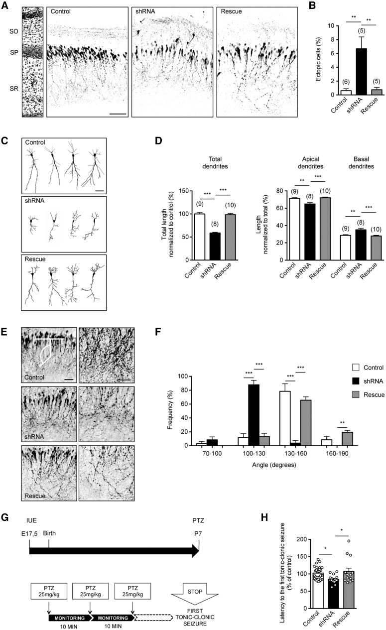 PCDH19 downregulation in rats affects the migration, morphological maturation and orientation of hippocampal neurons and increases seizure susceptibility. ( A ) Confocal images of GFP fluorescence in coronal sections of rat hippocampus at P7 after in utero transfection (at E17.5) with pRNAT-U6.3/Hygro empty vector (Control), PCDH19 shRNA or shRNA plus PCDH19-V5 (Rescue). Slices were counterstained with the nuclear marker Hoechst for visualization of hippocampal layers (left). Scale bar, 50 μm. SO, stratum oriens ; SP, stratum pyramidale ; SR, stratum radiatum . ( B ) Quantification of the number of ectopic cells (± SEM) in control, shRNA and rescue conditions. Numbers are expressed as a percentage of the ectopic cells normalized to the total number of fluorescent cells in the same section. Asterisks: statistically significant difference (Student's t -test, ** P