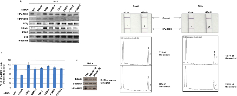 hScrib regulates the expression of HPV-18 E6 in HeLa cells. Panel A. HPV-positive HeLa cells were transfected with siRNA Luciferase or siRNA against the indicated E6 PDZ substrates. Cells were grown for 72 h prior to harvesting and the expression patterns of HPV-18 E6, hDlg, hScrib, TIP2, p53, E6AP and α-actinin (to monitor the protein loading) were assessed by western blot analysis. Note that Lanes 1 and 2 have been spliced but all samples were run on the same gel. Panel B. Band intensities were determined using the OptiQuant quantification program. E6 levels were normalized to 100% relative to siLuciferase-transfected HeLa cells. Standard deviations are also shown. Panel C. The silencing of hScrib was performed as in A but using two different siRNAs specific for hScrib. The expression levels of HPV-18 E6, hScrib and α-actinin to monitor the protein loading, were assessed by western blot analysis. Panel D. Strips showing levels of HPV16 E6 detection in CaSki and SiHa cells following transfection with siRNA luciferase (si Luc) or si Scrib. Arrows indicate the position of the internal positive control and the HPV-16 E6 specific band. The bottom panels show the quantification of the band intensities.