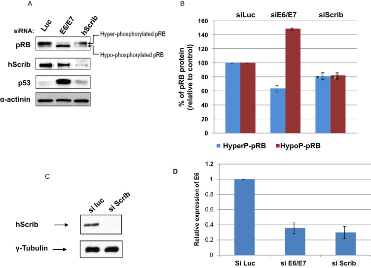 Loss of hScrib decreases the levels of HPV-18 E6 mRNA. Panel A. HeLa cells were transfected with siRNA against Luciferase or siRNA HPV-18 E6/E7 or siRNA hScrib. 72 h after transfection, cells were harvested and the expression patterns of: pRB as a surrogate marker for E7 expression, p53 to monitor E6/E7 loss, hScrib and α-actinin, to monitor the protein loading, were assessed by western blot. Panel B. Band intensities of hypo-phosphorylated and hyper-phosphorylated pRB were determined using the OptiQuant quantification program. Levels of pRB expression are expressed as the % of hyper- and hypo-phosphorylated pRB relative to siLuciferase-transfected control cells. Standard deviations are also shown. Panel D. The graph shows the result of quantitative real time pcr for the levels of E6 mRNA, using GAPDH as the control. The bars show the relative levels of E6 expression where siLuc is used as the reference. Note the greater than 60% reduction in E6 mRNA following transfection with either siE6/E7 or siScrib. The numbers represent the means from 3 independent experiments and standard deviations are shown. Panel C shows the accompanying western blot verifying ablation of hScrib expression in a representative assay.