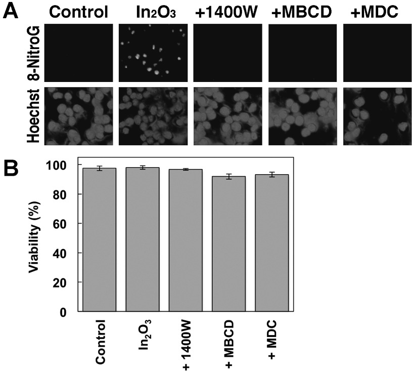 Effects of iNOS and endocytosis inhibitors on In 2 O 3 -induced DNA damage and their cytotoxicity. (A) Effects of iNOS and endocytosis inhibitors on In 2 O 3 -induced 8-nitroG formation. RAW 264.7 cells were treated with 20 µg/m l  of In 2 O 3  for 4 h at 37°C. The cells were co-treated with 1 µM 1400W, 0.5 mM MBCD or 50 µM MDC. 8-NitroG formation was detected by immunocytochemistry as described in Materials and Methods section. The nucleus was stained with Hoechst 33258. Magnification, ×200. (B) Cytotoxicity of In 2 O 3  plus inhibitors for iNOS and endocytosis. RAW 264.7 cells were treated with 20 µg/m l  In 2 O 3  plus 1 µM 1400W, 0.5 mM MBCD or 50 µM MDC for 4 h at 37°C. Cell viability was evaluated by trypan blue exclusion assay. The data were expressed as means ± SD of 4 independent experiments.