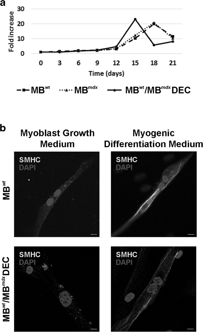 In vitro analysis of proliferation kinetics and myogenic differentiation of murine Dystrophin Expressing Chimeric Cells (DEC). a  The DEC proliferation kinetics after fusion compared with  snj  wild type myoblasts (MB wt ) and dystrophin deficient  mdx  (MB mdx ) parent cells proliferation up to 21 days of culturing. Absolute cell counts (n=3/cell type) at each time point (day 0, 3, 6, 9, 12, 15, 18, 21) were normalized with number of seeded cell and proliferation was expressed in fold increase. MB wt /MB mdx  DEC cell proliferation results did not show differences in the maximal proliferation counts after fusion when compared to parent myoblast populations (p > 0.05, one-way ANOVA, not significant), confirming maintenance of efficient cell cycle with maximal proliferation peak reached 3 days earlier compared to not-fused controls.  b  Representative immunofluorescence images of DEC differentiated into skeletal myocytes expressing skeletal myosin heavy chain marker (SMHC-AlexaFluor 647, yellow) seven days after fusion. Confirmation of differentiation of MB wt /MB mdx  DEC line to the skeletal myocytes in myogenic differentiation media comparable with MB wt  controls. For merge: Yellow, SMHC; blue, DAPI (nuclei), scale bar 10μm