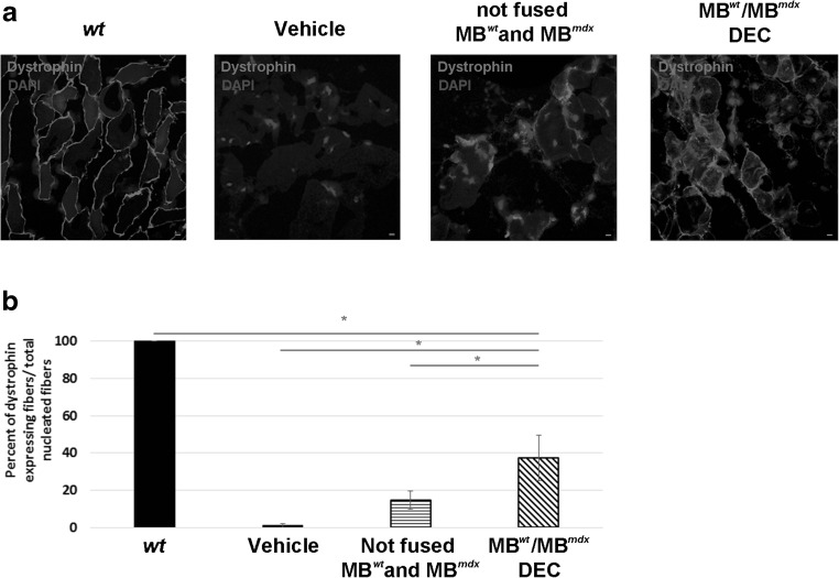 Significant increase of dystrophin expression at 30 days after DEC transplant to the gastrocnemius muscle (GM) of mdx mice. a Representative immunofluorescence images of dystrophin expression in GM of snj wild type ( wt ) mice (left, positive control), dystrophin-deficient mdx mice injected with vehicle, not fused MB wt with MB mdx and MB wt /MB mdx DEC. Restoration of dystrophin expression (magenta) is confirmed in GM of mdx mice injected with DEC. For merge: Magenta, dystrophin; blue, DAPI (nuclei), scale bar 10 μm. b Quantification of dystrophin-positive fibers at 30 days post-transplant confirms an increase of 37.27% in DEC injected mdx host compared to vehicle and not-fused MB wt and MB mdx controls; (n = 6, mean ± SD, 5 ROI/3 sections/6 animal/group, One-way ANOVA)