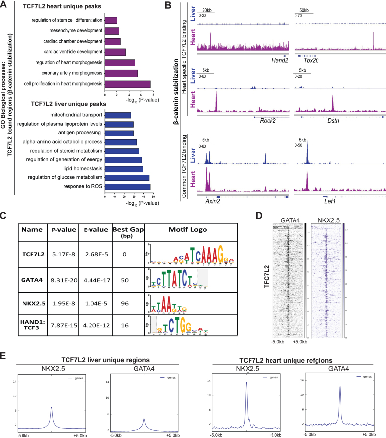 TCF7L2 cooperates with cardiac-TFs to enable heart-specific gene regulation. ( A ) Comparison of TCF7L2-bound regions in in vivo models of β-catenin stabilization (β-cat Δex3 ) in CMs and hepatocytes. GO biological processes for unique regions in CM (magenta) and hepatocytes (blue). ( B ) TCF7L2 occupancy profiles on identified Hand2, Tbx20, Rock2 and Dstn enhancers and common Wnt targets Axin2 and Lef1 in β-catenin stabilized CM (magenta) and hepatocytes (blue). ( C ) Table enlisting the transcription factors (TFs) enriched on TCF7L2-bound regions in β-cat Δex3 ventricles by de-novo motif search using MEME-SpaMo. ( D ) Heatmap depicting the occupancy of cardiac-TFs GATA4 and NKX2.5 in the normal heart on regions occupied by TCF7L2 in β-cat Δex3 hearts. Regions ± 5 kb are shown. ( E ) Average profiles of GATA4 and NKX2.5 occupancy on TCF7L2-bound liver and heart-specific regions. Data are mean ± SEM; t -test.