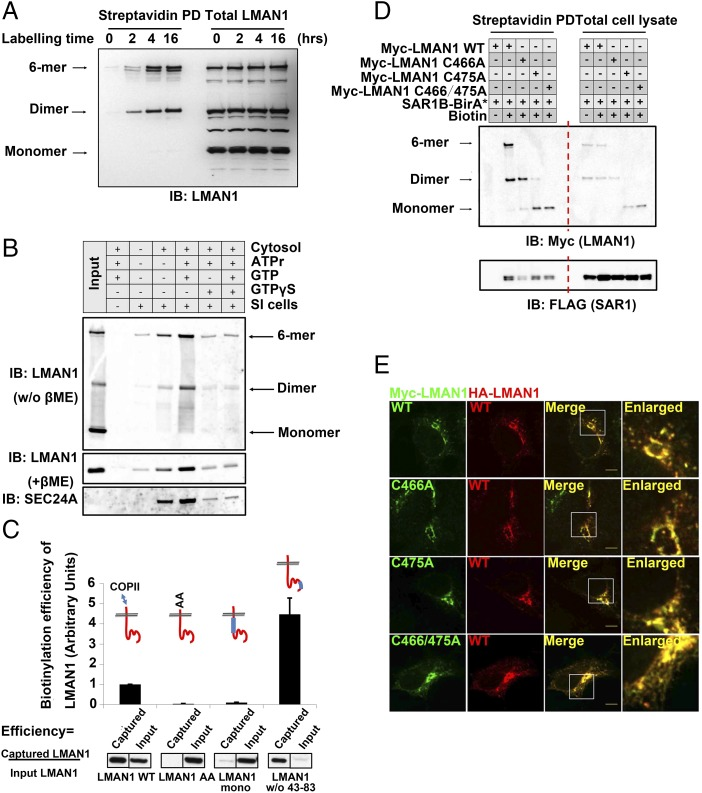 """LMAN1 dimers constitute the minimal unit for export from the ER. ( A ) ER export of LMAN1 dimers and oligomers revealed by the proximity assay. 293A cells stably expressing SAR1B-BirA* were treated with 15 µM biotin for the indicated time points. After cell lysis, biotinylated proteins were isolated by streptavidin beads and subjected to SDS/PAGE without reducing agents followed by immunoblotting with an anti-LMAN1 antibody. ( B ) Cell-free """"budding"""" assay to reconstitute ER export of LMAN1 dimers/oligomers. Semiintact (SI) cells were mixed with cytosol and the indicated reagents to catalyze in vitro vesicle formation from the ER. The isolated vesicles were subjected to immunoblotting without reducing agent ( Top ) or with reducing agent ( Middle and Bottom ) with the indicated antibodies. No dimers or hexamers of LMAN1 were observed in the reducing condition. ATPr, ATP regeneration system. GTPγS is the nonhydrolyzable analog of GTP, and blocks COPII budding from the ER. ( C ) Biotinylation efficiency of LMAN1 mutants in the proximity assay. 293A cells stably expressing SAR1B-BirA* were transfected with the indicated Myc-LMAN1 mutants and treated with 15 µM biotin for 4 h. After cell lysis, biotinylated proteins were isolated by streptavidin beads and subjected to SDS/PAGE followed by immunoblotting with an anti-Myc antibody. ( C , Top ) LMAN1 is depicted in red, with blue bars representing deleted regions within the LMAN1 protein. Error bars represent SEM. ( D ) Dimeric LMAN1 is biotinylated by SAR1B-BirA*. 293A cells stably expressing SAR1B-BirA* were transfected with the indicated Myc-LMAN1 cysteine-to-alanine mutants and treated with 15 µM biotin for 4 h. After cell lysis, biotinylated proteins were isolated by streptavidin beads and subjected to native SDS/PAGE followed by immunoblotting with an anti-Myc antibody. Different oligomerization states of LMAN1 are depicted ( Left ). ( E ) Dimeric LMAN1 is targeted to the ERGICs. Cos-1 cells expressing the indicated """