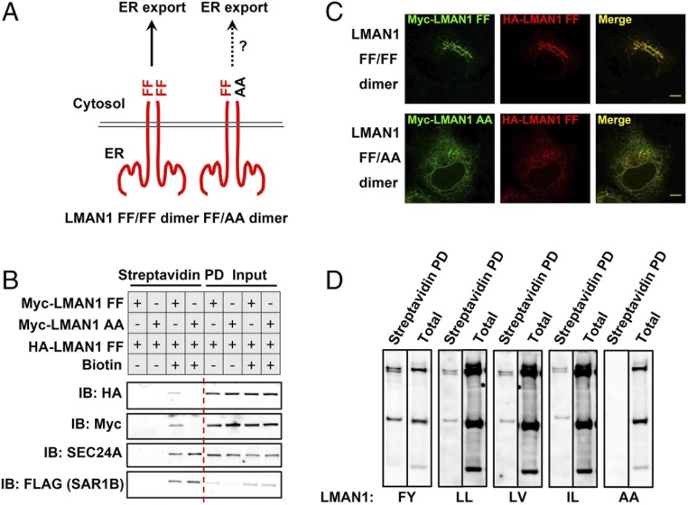 Dimeric sorting motifs mediate ER export via the COPII coat. ( A ) Schematics of a homodimeric FF–FF motif or a heterodimeric FF–AA motif. ( B ) LMAN1-AA inhibits ER export of the wild-type LMAN1 revealed by the proximity assay. 293A cells stably expressing SAR1B-BirA* were transfected with the indicated LMAN1 mutants and treated with 15 µM biotin for 4 h. After cell lysis, biotinylated proteins were isolated by streptavidin beads and subjected to SDS/PAGE followed by immunoblotting with the indicated antibodies. ( C ) LMAN1-AA traps wild-type LMAN1 in the ER. HeLa cells expressing the indicated LMAN1 constructs were fixed and subjected to immunostaining with the indicated antibodies, followed by confocal microscopy. (Scale bars, 8 µm.) ( D ) Dimeric FY, LL, LV, and IL sorting motifs in ER export. 293A cells stably expressing SAR1-BirA* were transfected with Myc-LMAN1 mutants with the indicated sorting motifs and treated with 15 µM biotin for 4 h. After cell lysis, biotinylated proteins were isolated by streptavidin beads and subjected to SDS/PAGE followed by immunoblotting with an anti-Myc antibody.