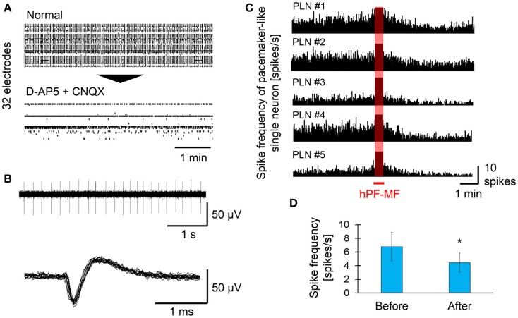 Effect of hPF-MF exposure on the autonomous activity of pacemaker-like neurons. (A) Screening of autonomous activity using MEAs and the pharmacological method. Even after D-AP5 and CNQX application, autonomous activity was detected in a few electrodes. (B) Detection of single pacemaker-like neuronal activity. Spontaneous activity with a frequency of 4–10 Hz, which is found in inhibitory neurons, was selected in some electrodes, then the effects of hPF-MF exposure on autonomous activity were evaluated. (C) Evaluation of the spike frequency after 400 mT hPF-MF exposure on the various pacemaker-like neurons. All autonomous activity detected from different cultures was reduced after 400 mT hPF-MF exposure. (D) Comparison of spike frequency before and after 400 mT hPF-MF exposure. N = 6 independent pacemaker-like neurons, ± SD, * P