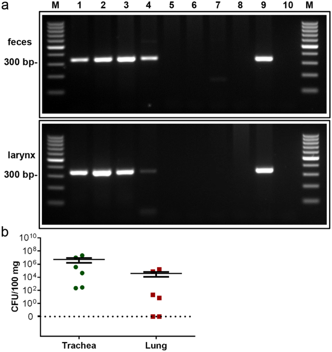 Detection of genomic Bordetella DNA by PCR. ( a ) A PCR product of 318 bp was amplified with B. pseudohinzii -specific primers from DNA of faeces (upper panel) and larynx (lower panel) from infected (lanes 1–4) and non-infected (lanes 5–8) mice, as classified by MALDI-TOF MS. DNA isolated from cultured B. pseudohinzii (strain 3227) served as a positive control (lane 9). Control runs without template were negative (lane 10). M: 100 bp molecular weight marker. ( b ) Trachea and lung taken were taken from 6 animals which were positive for B. pseudohinzii by PCR of faecal pellets, homogenized, and plated on selective agar plates. Number of colony forming units (CFU) is given per 100 mg of tissue. Individual data points shown; horizontal bar and whiskers indicate mean and standard error of the mean. Weight of tissue samples and CFU/organ are provided in Supplementary Table 1 .