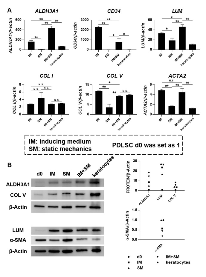 Mechanical stimulation and inducing medium(IM) synergistically promote keratocyte differentiation. PDLSCs were seeded on Bioflex 6-well plates, with treatment of IM, static mechanics (SM) or a combination of both (IM+SM) for 6 days. (A) Gene expression was evaluated by quantitativePCR. Levels at day 0 (unstimulated PDLSCs) were set as 1. The expression was compared between IM and SM, IM and IM+SM, SM and IM+SM, IM+SMand primary in vitro cultured keratocytes at passage 2.  * Significant difference at P