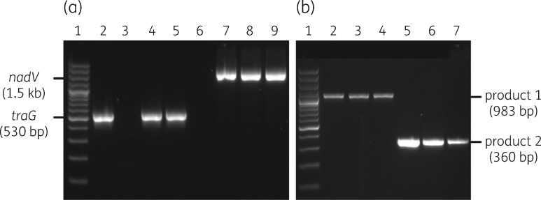 PCR confirmation of ICE Apl2 in MIDG2331ΔureC::nadV and detection of extrachromosomal ICE Apl2 in <t>MIDG3553</t> and MIDG2331ΔureC::nadV. (a) PCR products from amplification of traG (530 bp) and nadV (1.5 kb) sequences from donor MIDG3553 (lanes 2 and 6), recipient MIDG2331ΔureC::nadV prior to conjugation (lanes 3 and 7) and selected transconjugants (lanes 4, 5, 8 and 9). Lane 1, 100 bp Plus <t>DNA</t> ladder. (b) Detection of a circular intermediate form by nested PCR in MIDG3553 (lanes 2 and 5) and selected transconjugants (lanes 3, 4, 6 and 7). Nested-PCR products generated by primers IceFlo_L1_out/IceFlo_R1_out and IceFlo_L2_out/IceFlo_R2_out are labelled as product 1 (983 bp) and product 2 (360 bp), respectively. Lane 1, 100 bp Plus DNA ladder (Invitrogen).